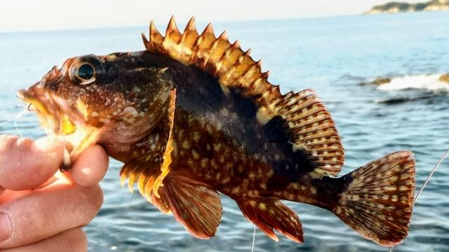 カサゴ(根魚)
